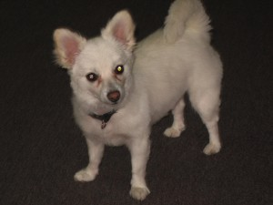 Lost Dog: German Spitz - كلب مفقود