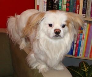 Lost Dog - Japanese Chin - كلب مفقود