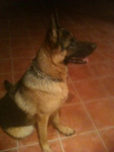 Lost Dog: German Shepherd - كلب مفقود